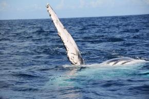 La Saison des baleines à bosse vient de démarrer