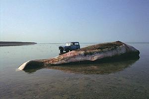 Un sonar basse fréquence cause la mort de baleines