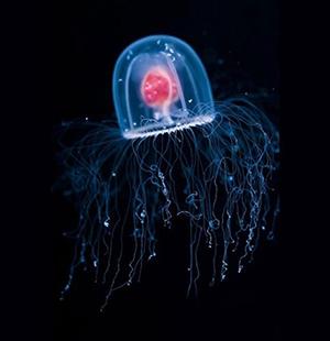 Une méduse immortelle sème la panique dans le monde ...