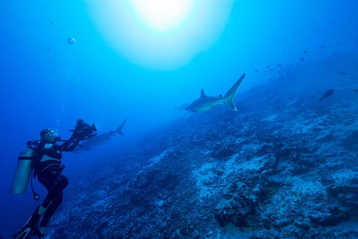La prise de vue sous-marine et les Requins