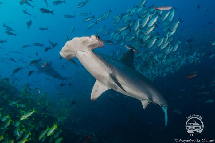 Nature Plongée et Aggressor Fleet, les plus belles plongées