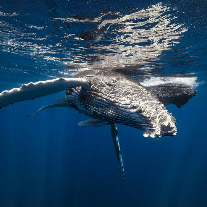 Les baleines à bosses à La Réunion / le festival de l'image sous marine