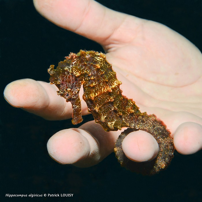 HIPPOCAMPES, CONNAISSANCE ET PROTECTION : OÙ EN SOMMES NOUS