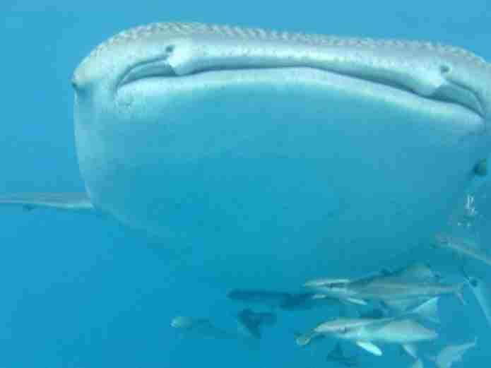 La haute saison des  requins baleine de Nosy be : octobre à ...