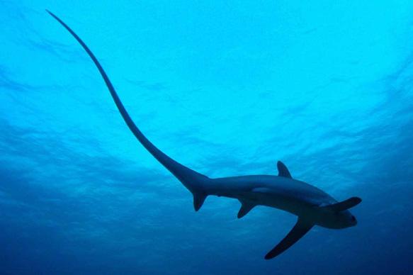 Venez découvrir  le requin renard aux Philippines!